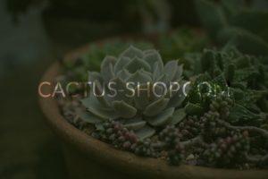 Онлайн магазин Cactus Shop от Speedflow Bulgaria - Дигитални решения